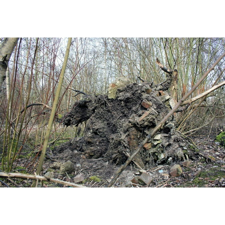 Canvas Print Storm Damage Uprooted Dying Tree Root Damage Stretched Canvas 10 x -
