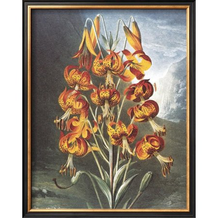 Superb Lily (The Superb Lily Framed Art Print Wall Art  By Dr. Robert J. Thornton - 16x21)