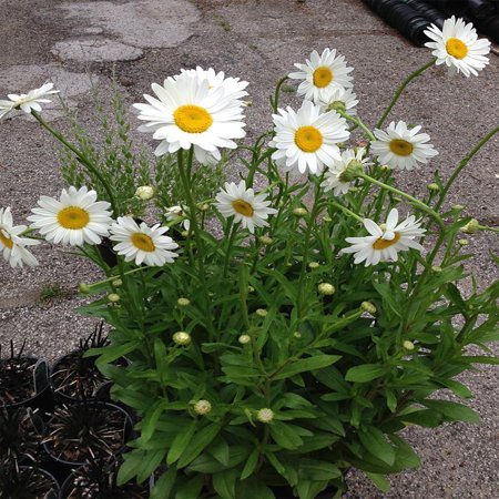 Becky Shasta Daisy Plant  White Summer Flowers  Live Perennial For Sunny Gardens In A 1 Gallon Pot  Usda Plant Zones 4 5 6 7 8