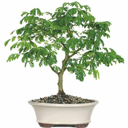 (Brussel's Brazilian Rain Tree Bonsai - Large - (Indoor))