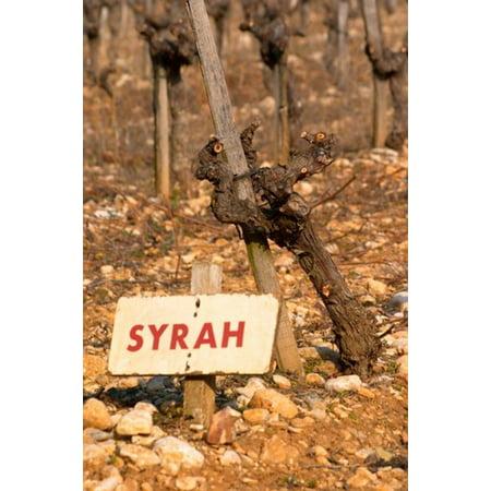 Syrah Vine and Sign at La Truffe de Ventoux Truffle Farm Stretched Canvas - Per Karlsson  DanitaDelimont (18 x
