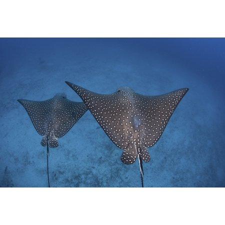 Spotted eagle rays swim over the seafloor near Cocos Island Costa Rica Canvas Art - Ethan DanielsStocktrek Images (17 x 12)