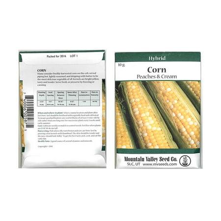 Peaches & Cream Hybrid Corn Garden Seeds - 10 Grams Packet - Non-GMO Vegetable Gardening Seeds - Yellow & White Corn Kernels