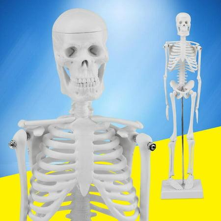 Full Body 45cm (17.7inch)  Anatomical Human Skeleton Model Medical Poster Bonnet Stand