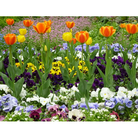 Peel-n-Stick Poster of Pansy Flowers Tulip Spring Poster 24x16 Adhesive Sticker Poster - Spring Tulips