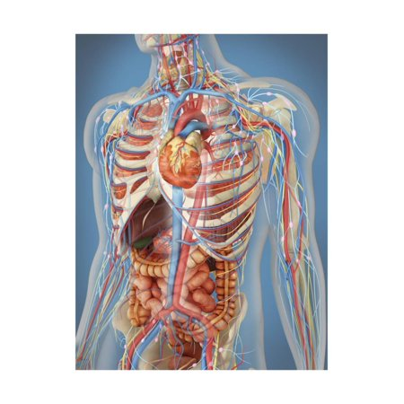 Human Body Showing Heart and Main Circulatory System Position Print Wall Art By Stocktrek Images