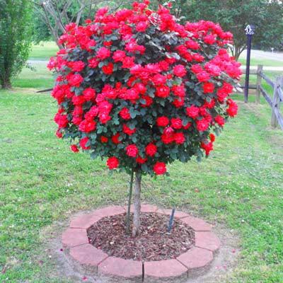 5g Knockout Rose Tree