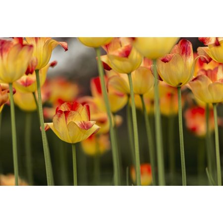 Triumph tulip Suncatcher (tulipa) Brooklyn Botanic Garden Brooklyn New York United States of America Canvas Art - F M Kearney  Design Pics (19 x 12)
