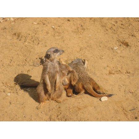 LAMINATED POSTER Desert Animals Sand Meerkat Zoo Poster Print 24 x 36