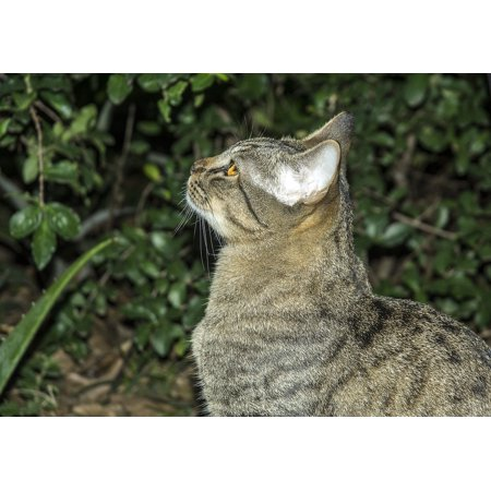 Fox Face Kittens For Sale (Canvas Print Kitten Feline Feline Stopped Cat Cat Face Pet Stretched Canvas 10 x)
