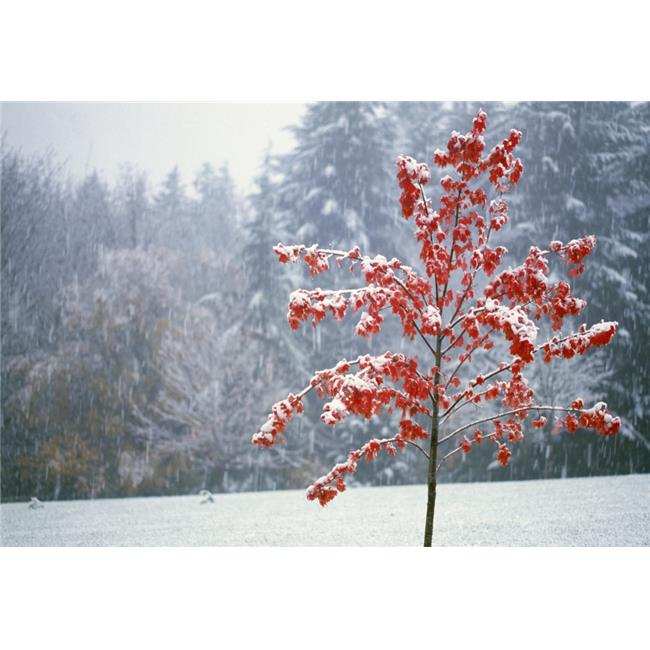 Posterazzi DPI1783821 Tree in The Winter Poster Print by Natural Selection Craig Tuttle, 18 x 12 - image 1 of 1