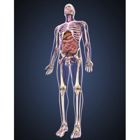 Full length view of male human body with organs arteries and veins Poster - Organs Human Body