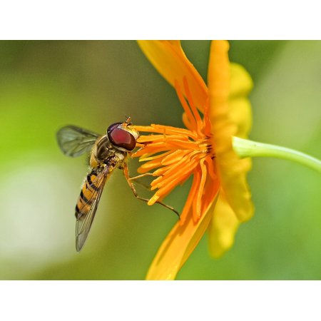Laminated Poster Hoverfly Insect Nature Animal Bloom Blossom Poster Print 24 x 36