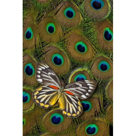 Underside of Delias Butterfly on Peacock Tail Feather Design Print Wall Art By Darrell