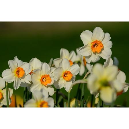 Canvas Print Spring Flowers Flower Daffodils Narcissus Daffodil