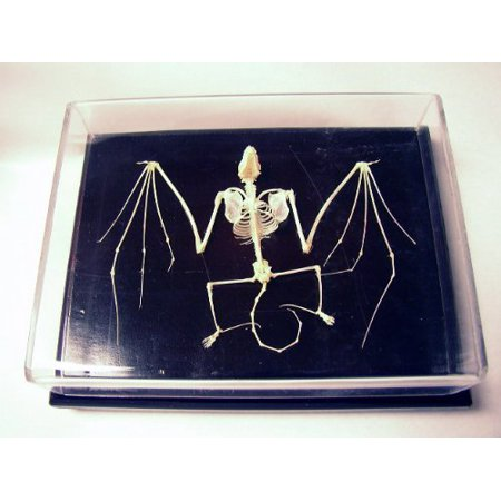C & A Scientific - Premiere 51010 Real Bat Skeleton