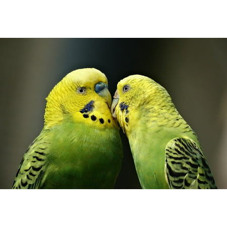 LAMINATED POSTER Kiss Parakeet Bird Budgerigar Couple Parrots Poster Print 24 x 36 ()