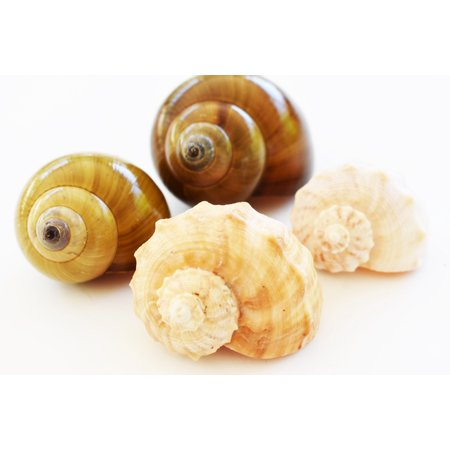 4 Large Shell Hermit Crab Changing Set - Select Shells - Large 1 1/4-1 3/4+ opening - Land Snail and Conch Shells (Large Concho)