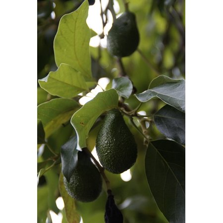 Canvas Print Avocado Tree Healthy Edible Avocado Fruit Plant Stretched Canvas 10 x 14