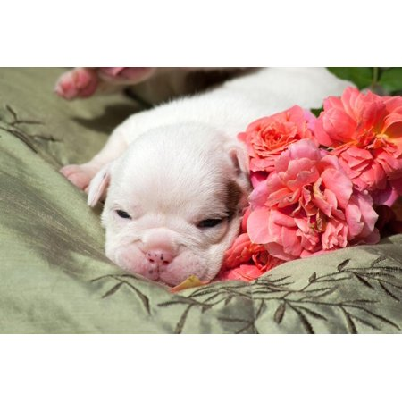 Newborn Bulldog Puppy Lying on a Blanket Print Wall Art By Zandria Muench