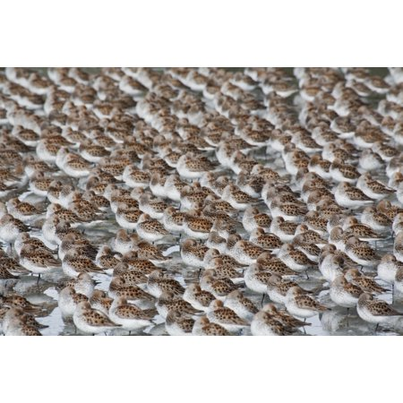 Large Flock Of Western Sandpipers On The Mud Flats Of Hartney Bay During Spring Migration Copper River Delta Southcentral Alaska Canvas Art - Milo Burcham  Design Pics (38 x 24)