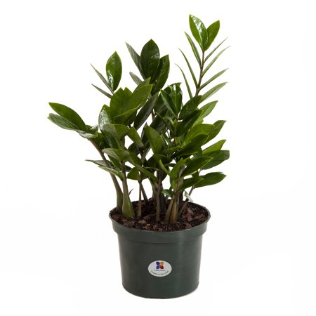 United Nursery Zamioculcas Zamiifolia ZZ Plant Live Indoor Outdoor House Plant Ships in 6