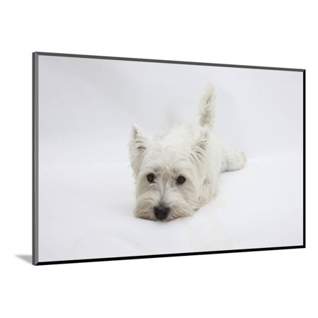 West Highland White Terrier Lying Stretched Out with Her Chin on the Floor Wood Mounted Print Wall Art By Mark Taylor ()
