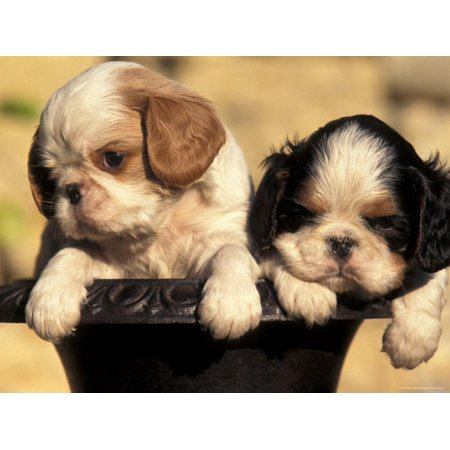 Domestic Dogs, Two King Charles Cavalier Spaniel Puppies in Pot Print Wall Art By Adriano