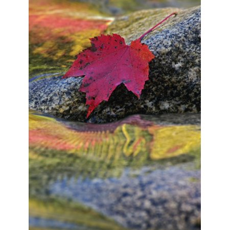 Red Maple Leaf on Rock in Swift River, White Mountain National Forest, New Hampshire, USA Print Wall Art By Adam Jones ()