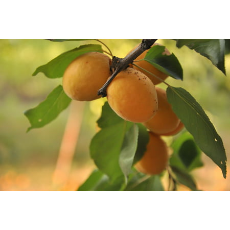 Canvas Print Apricot Summer Harvest Garden Nature Tree Fruit Stretched Canvas 10 x 14
