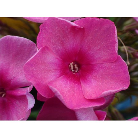Framed Art For Your Wall Common Missouri Flower Garden Pink Flower Plant 10x13 Frame ()