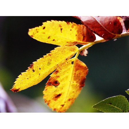 LAMINATED POSTER Autumn Nature Rowan Tree Colorful Fall Leaves Poster Print 24 x 36](Roman Leaves)