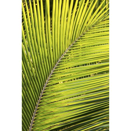 Close Up Of A Palm Tree Branch Glowing From The Sunlight Akumal Quintana Roo Mexico Posterprint