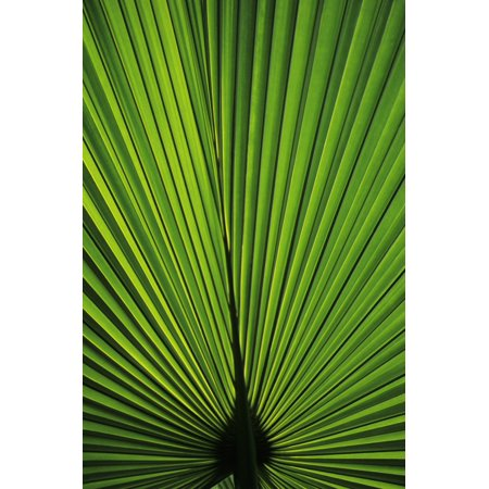 Frosted Leaf Fan (Hawaii Oahu Backlit Fan Palm Leaf PosterPrint)