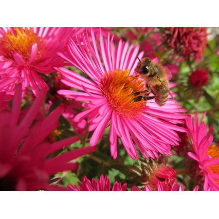 Framed Art For Your Wall Flower Herbstaster Autumn Bee Aster Honey