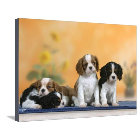 Domestic Dogs, Four Cavalier King Charles Spaniel Puppies, 7 Weeks Old, of Different Colours Stretched Canvas Print Wall Art By Petra