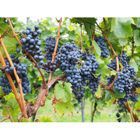 Framed Art for Your Wall Vines Grapes Wine Berries Vitis Blue Berries Pods 10x13