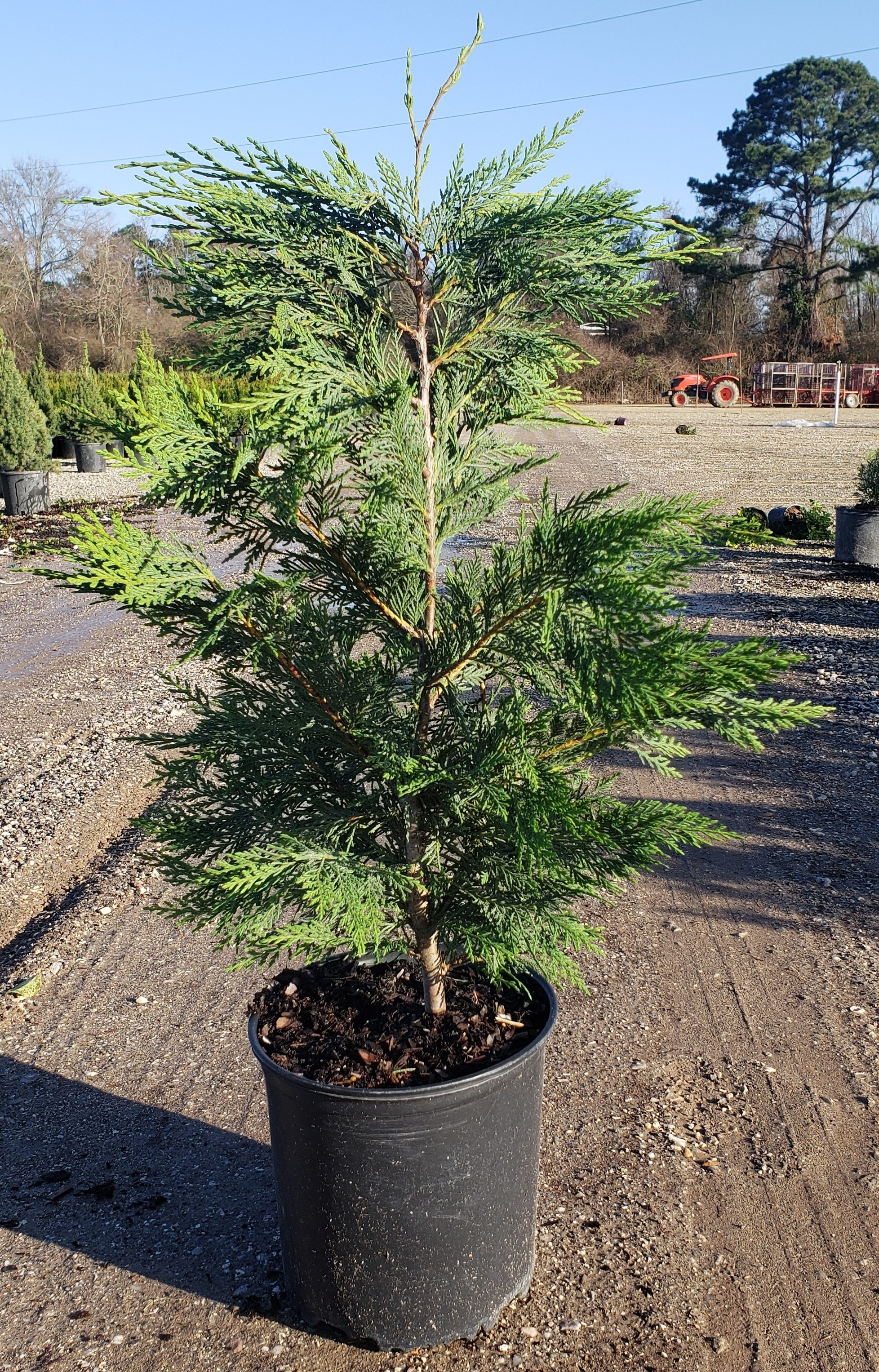 Are leyland cypress mature height in idaho