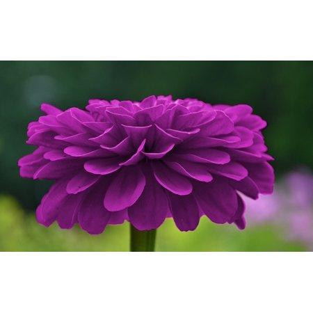 Laminated Poster Plant Purple Blossom Petals Flower Violet Poster Print 24 x 36