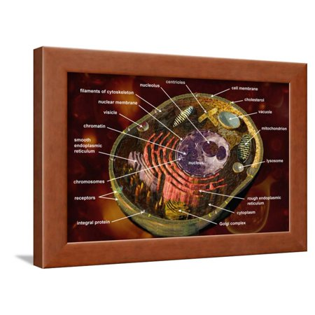 Biomedical Illustration of a Generalized Animal Cell Section Showing its Major Organelles Labeled Framed Print Wall Art By Carol & Mike