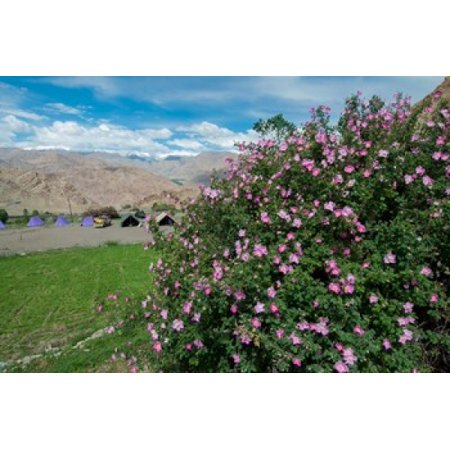 Pink roses at campsite near the Hemis Monastery Ladakh India Canvas Art - Ellen Clark  DanitaDelimont (19 x