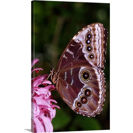 - Great BIG Canvas | Ralph Curtin Premium Thick-Wrap Canvas entitled Blue Morpho Butterfly On Flower