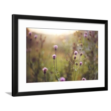 Wild Meadow Pink Flowers in Autumn Field in Evening Natural Sunshine Background. Vintage Outdoor Au Framed Print Wall Art By nature photos