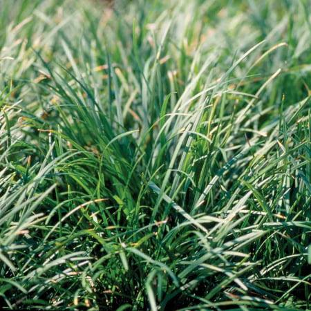 Vinca Minor Ground Cover (Mondo Grass in 3-1/4
