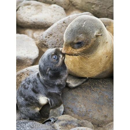 Portrait Of A Northern Fur Seal Mother And Newborn Pup St Paul Island Southwest Alaska Summer PosterPrint