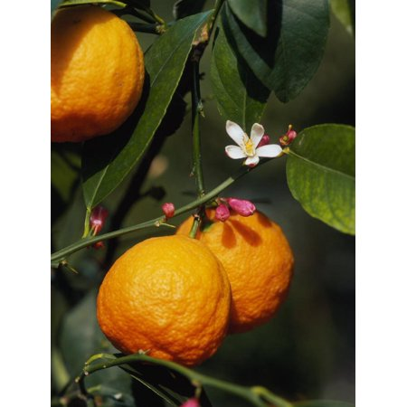 Orange Fruits and Blossom (Citrus Aurantium Sinensis) Print Wall Art By Reinhard Citrus Aurantium Fruit Extract
