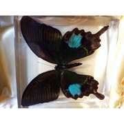 Ed Speldy East Company BF31 Real Bug Paris Peacock Butterfly Desk Decoration