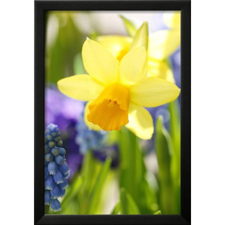 Narcissus, Daffodil, Grape Hyacinth Framed Print Wall Art By Sweet ...