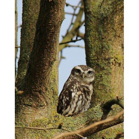 - Peel-n-Stick Poster of Sitting Tree Animal Nature Bird Screech Owl Owl Poster 24x16 Adhesive Sticker Poster Print