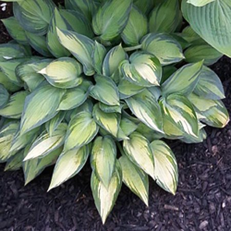 June Hosta Lovely Blue Green Leaves Lavender Summer Flowers Live